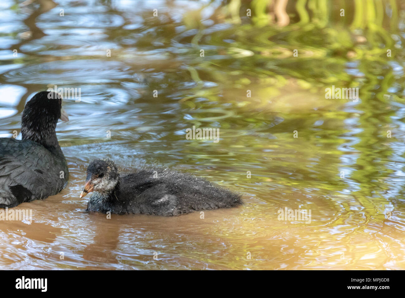 Single Eurasian coot (Fulica atra) chick swimming in a lake with its parent - Stock Image