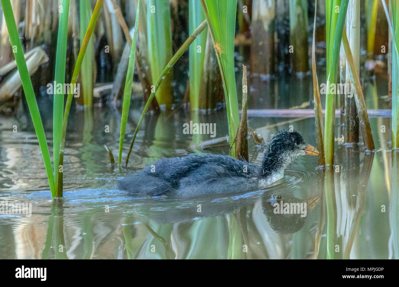 Single Eurasian coot (Fulica atra) chick swimming in a lake - Stock Image