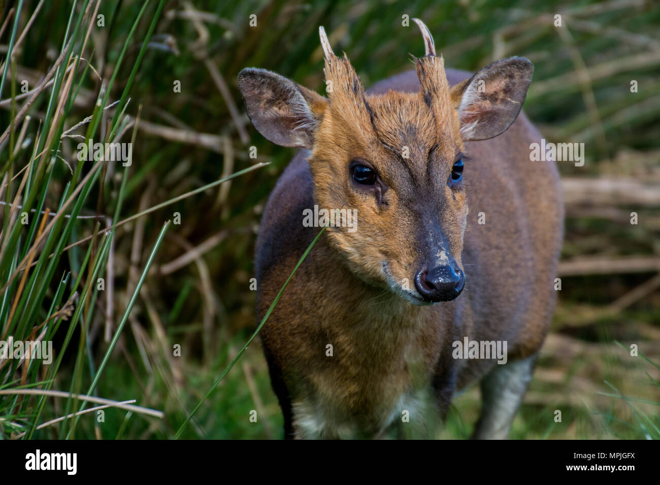 Wild muntjac deer in long grass - Stock Image
