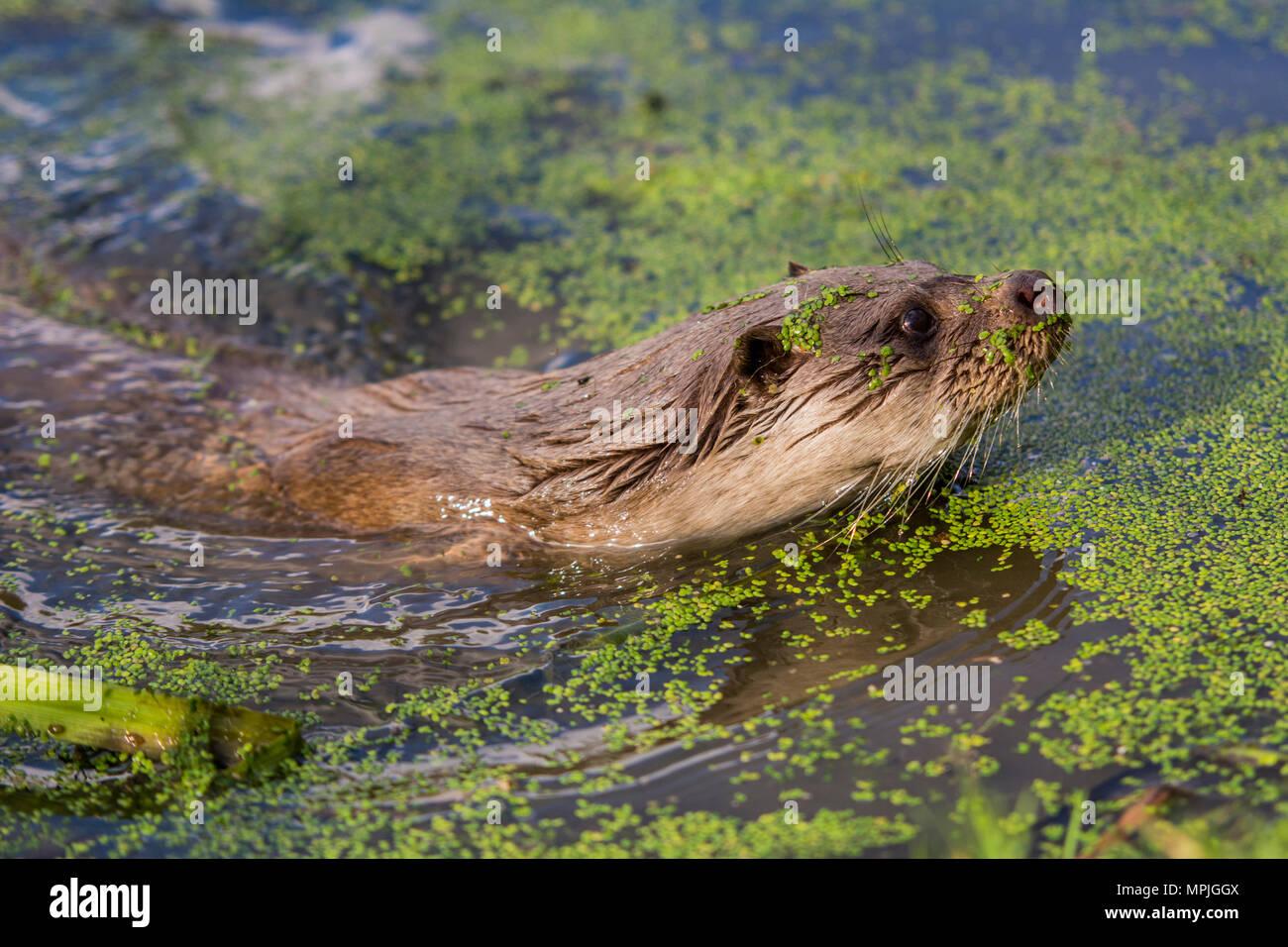 Otter swimming towards the bank through algae - Stock Image