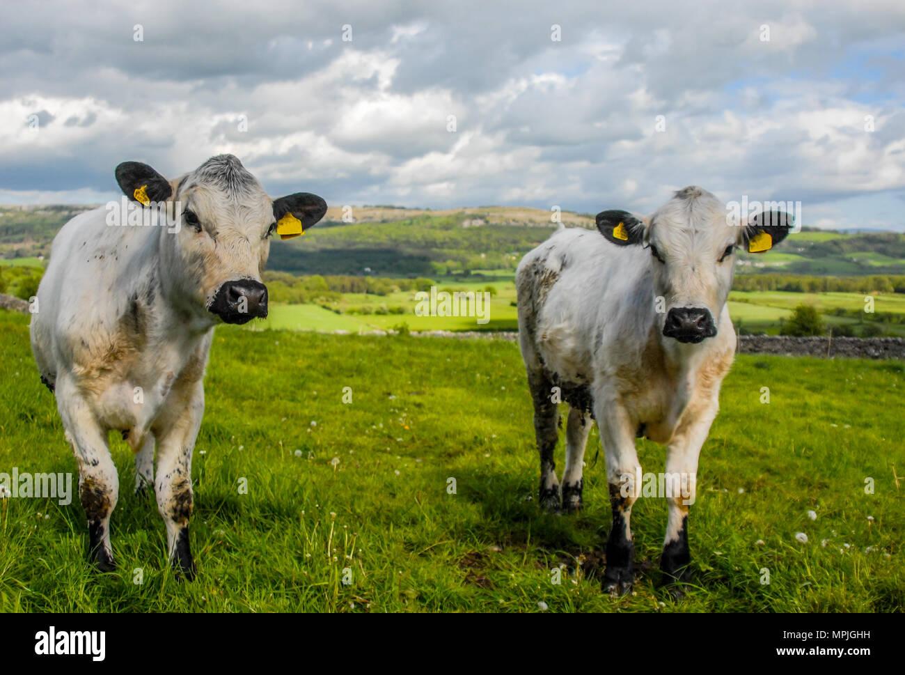 Rare breed British White bullocks grazing in South Cumbria. - Stock Image
