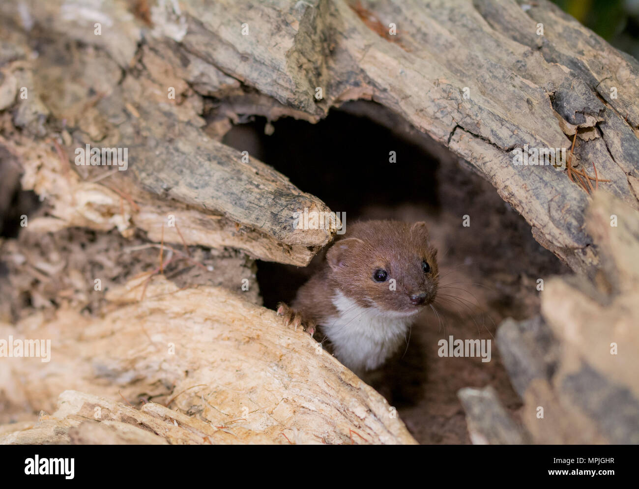 a wild weasel looking out through a log - Stock Image