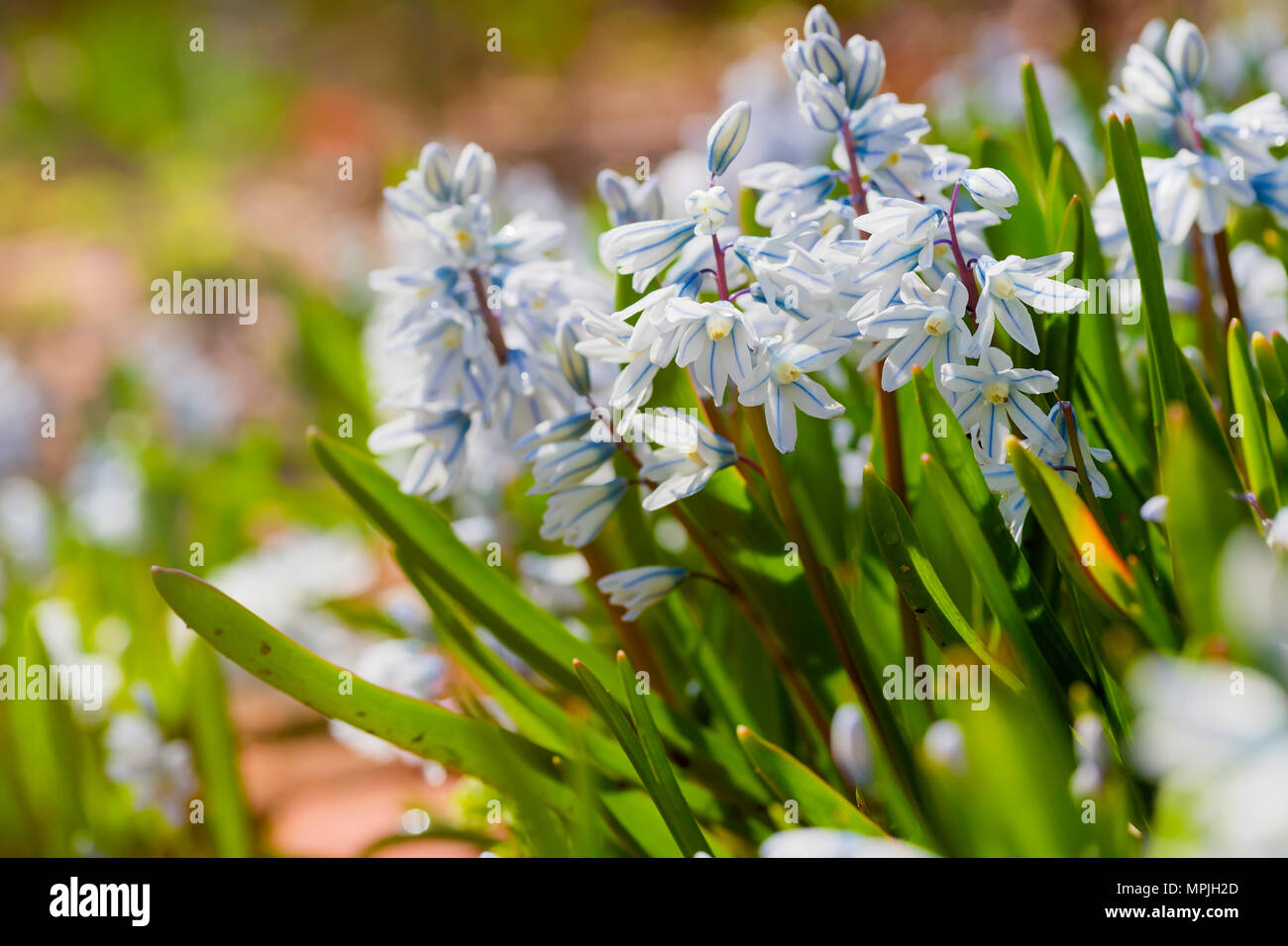 Striped Squill (Puschkinia scilloides) flowering profusly in the spring garden. Stock Photo