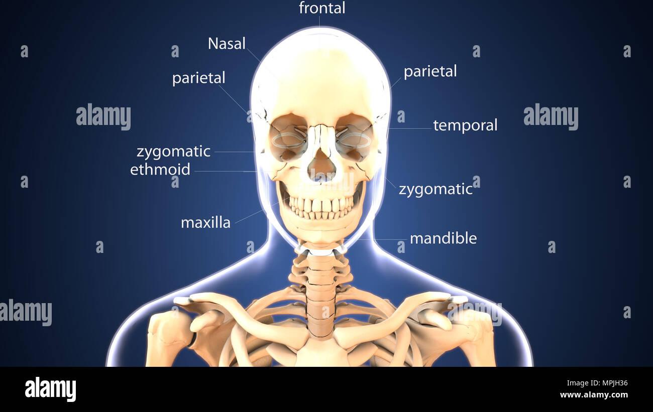 3d illustration of human skeleton skull anatomy Stock Photo ...