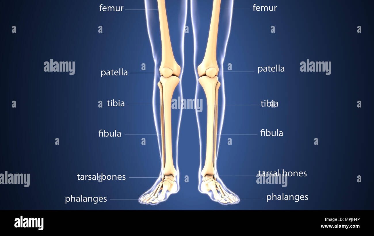 3d Illustration Of Human Body Leg Joint Bones Anatomy Stock Photo