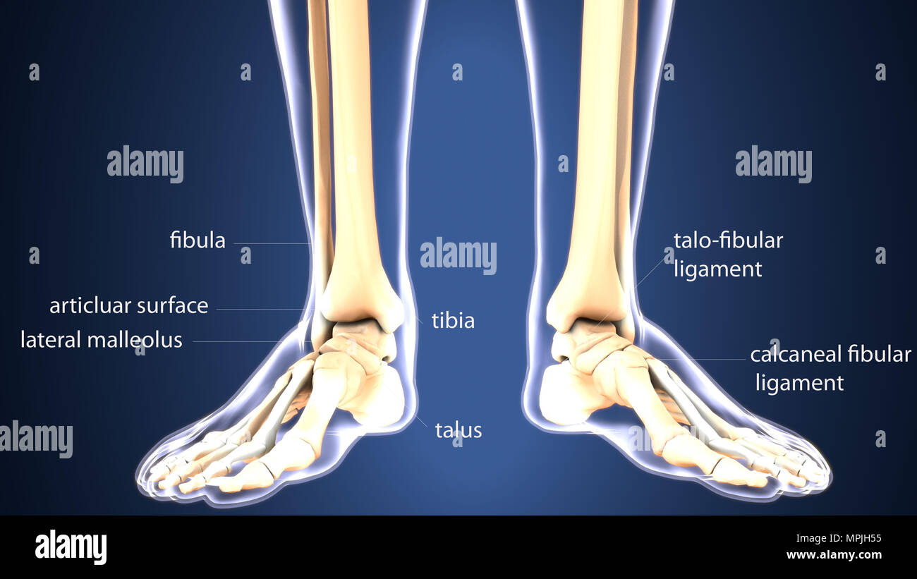 3d Illustration Of Human Body Foot Bones Anatomy Stock Photo