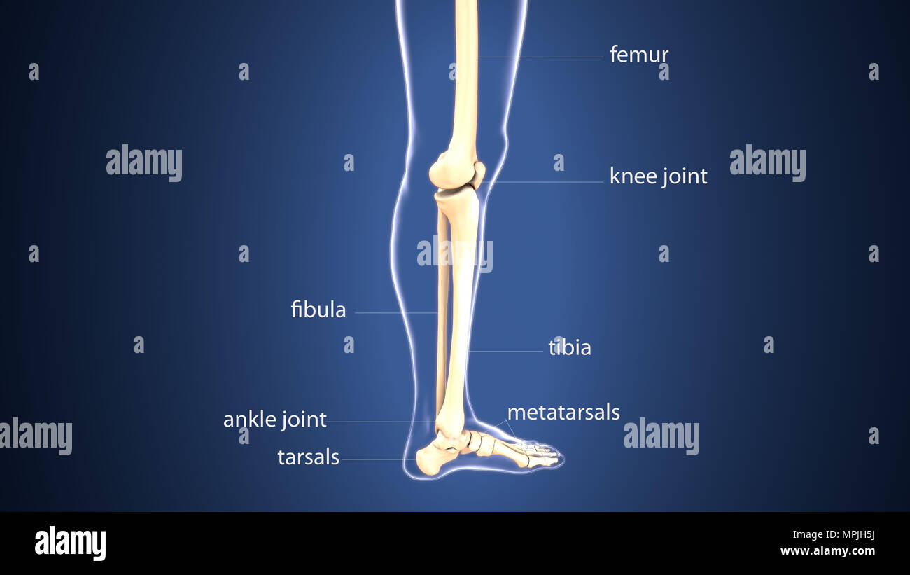 3d illustration of human body foot bones anatomy Stock Photo ...