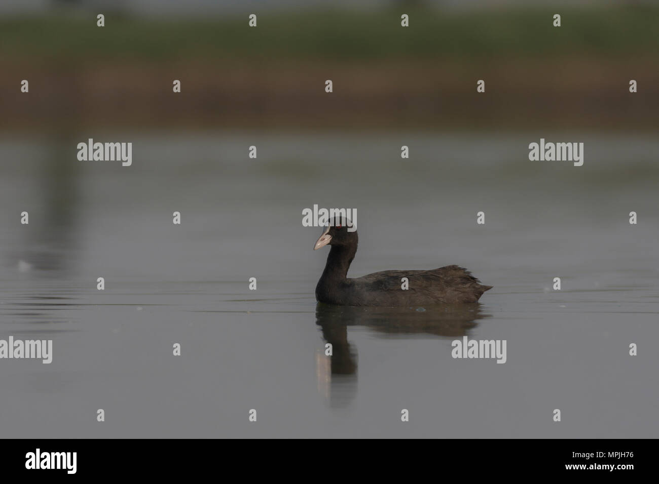 Common Coot or Eurasian Coot (Fulica atra) Swimming In Lake. - Stock Image