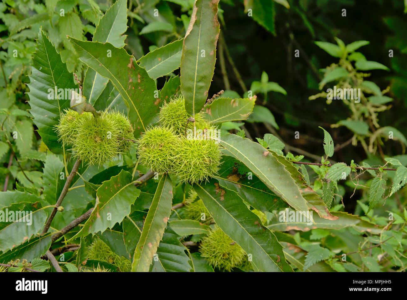 Unripe green sweet chestnut fruits and leaves, selective focus - Castanea sativa - Stock Image