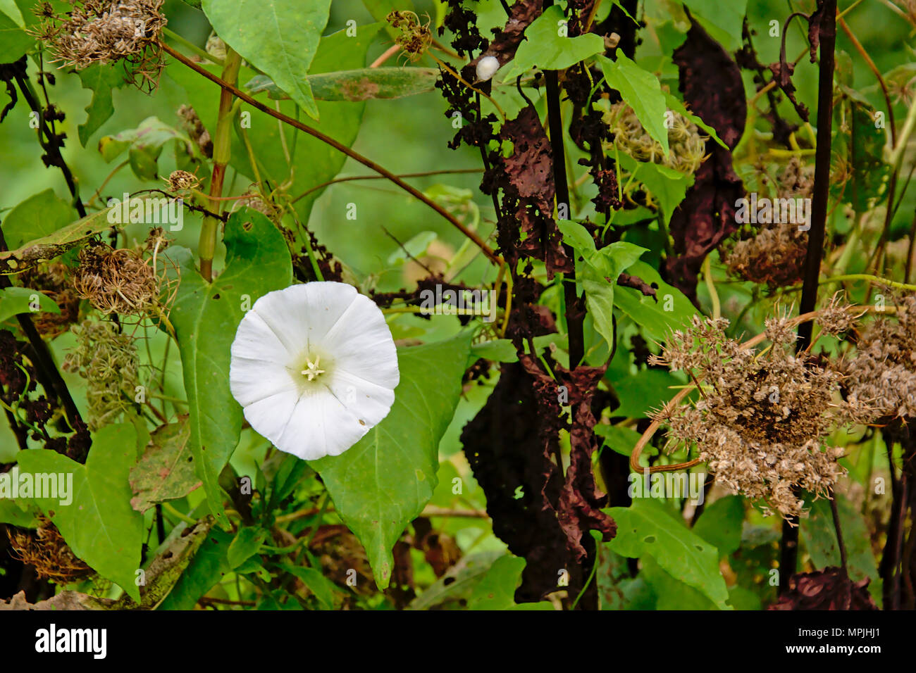 White morning glory stock photos white morning glory stock images white morning glory flower on green background in the garden selective focus convolvulaceae mightylinksfo