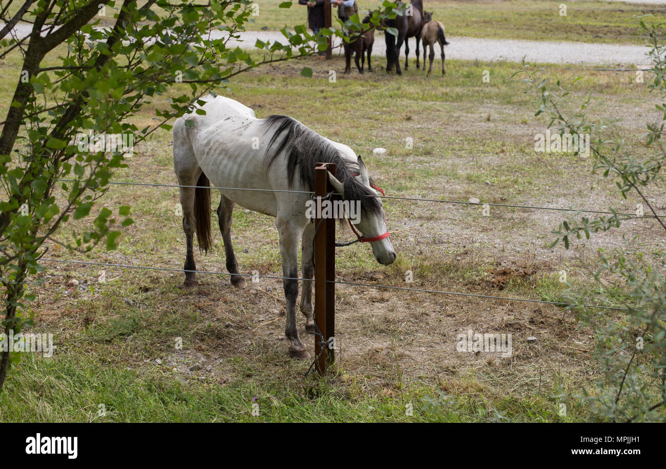 Aerial view of a dapple-gray horse - Stock Image