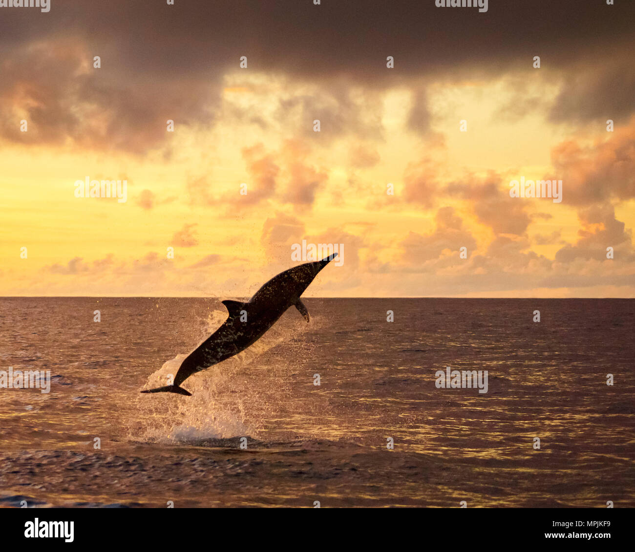 spinner dolphin, Stenella longirostris, jumping, leaping, at sunset, silhouette, Chichi-jima, Bonin Islands, Ogasawara Islands, UNESCO World Heritage  - Stock Image