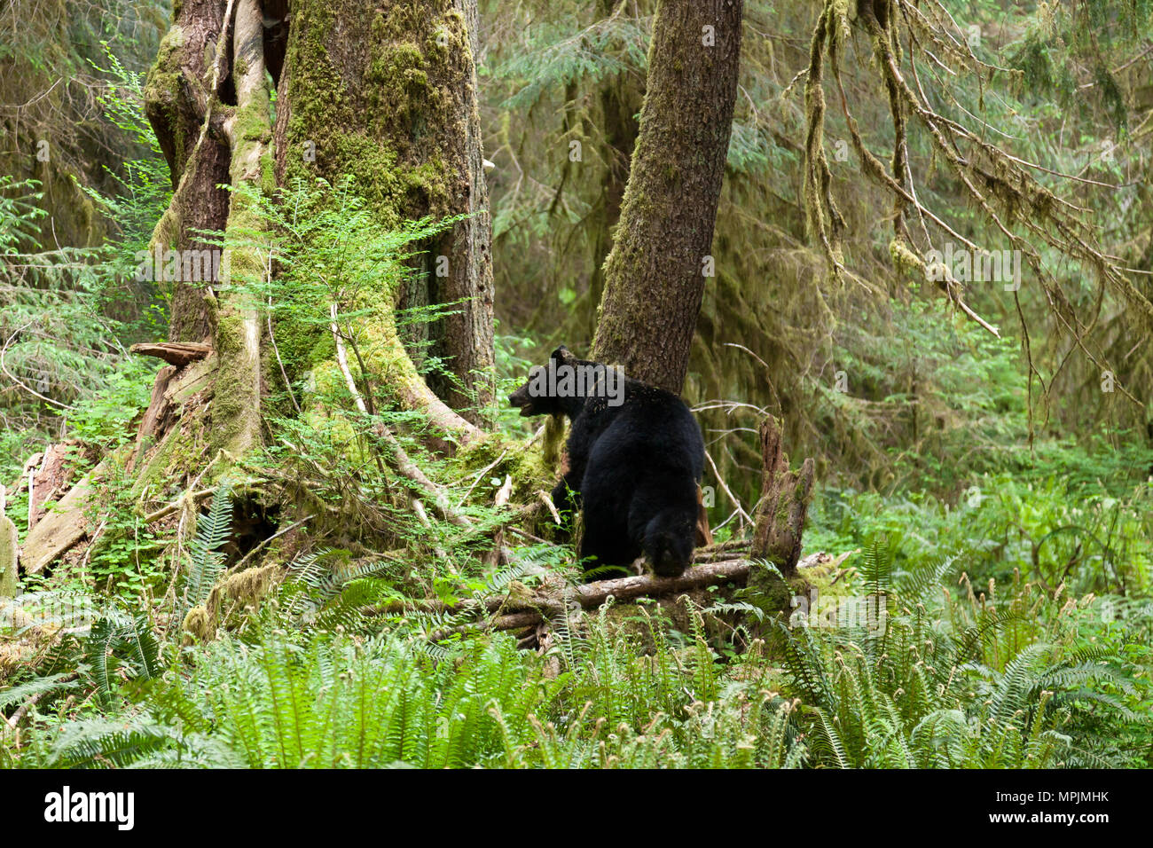 Bear in the The Hoh Rainforest in Olympic National Park, Washington. - Stock Image