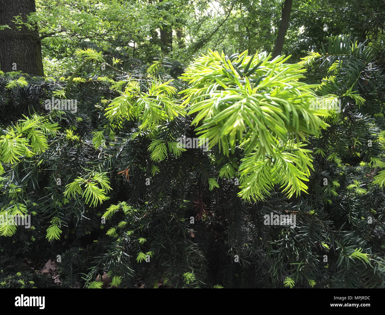 young branch of fir tree, close up detail picture - Stock Image