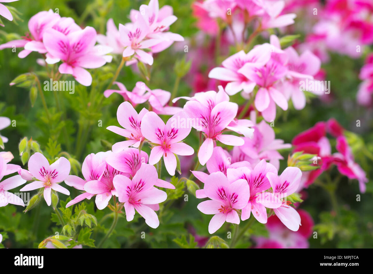 Orange Pink Flowers Geranium Stock Photos Orange Pink Flowers