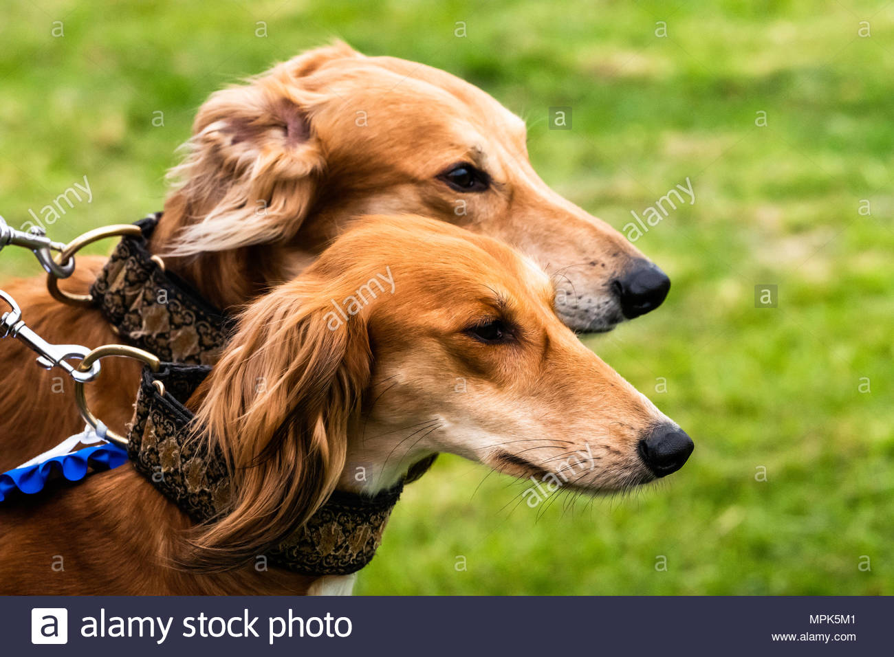 Saluki Greyhound Lurcher Stock Photos & Saluki Greyhound