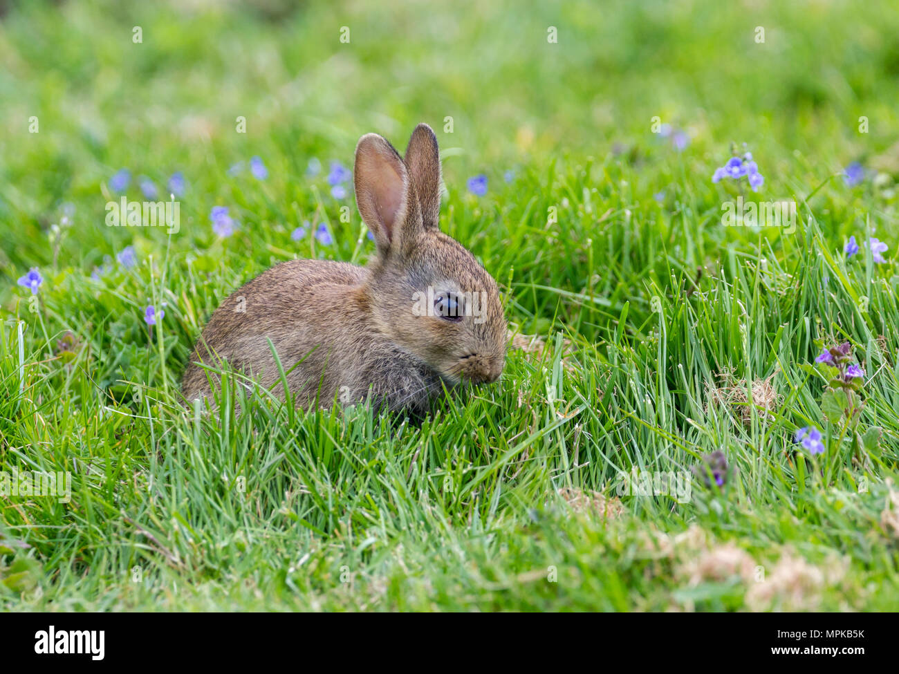 Wild Rabbits in the English countrside. Stock Photo