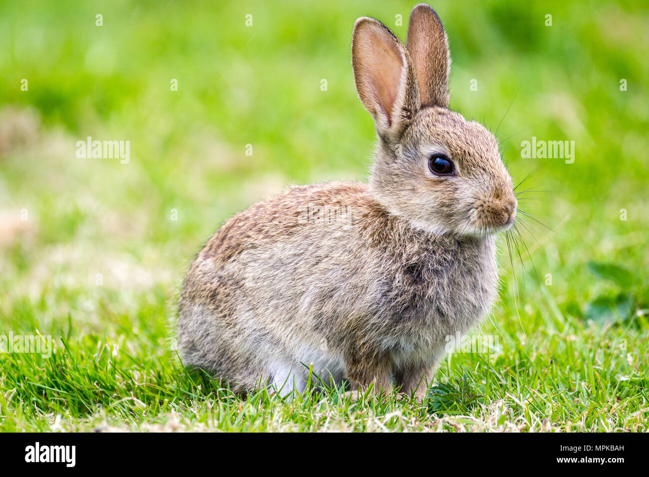 Wild Rabbits in the English countrside. - Stock Image