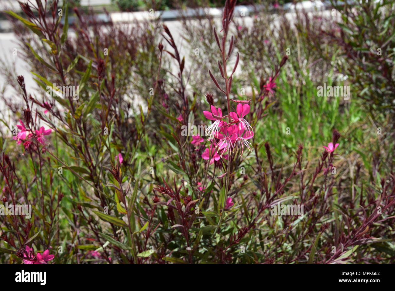 Flowering plants: Gaura. - Stock Image