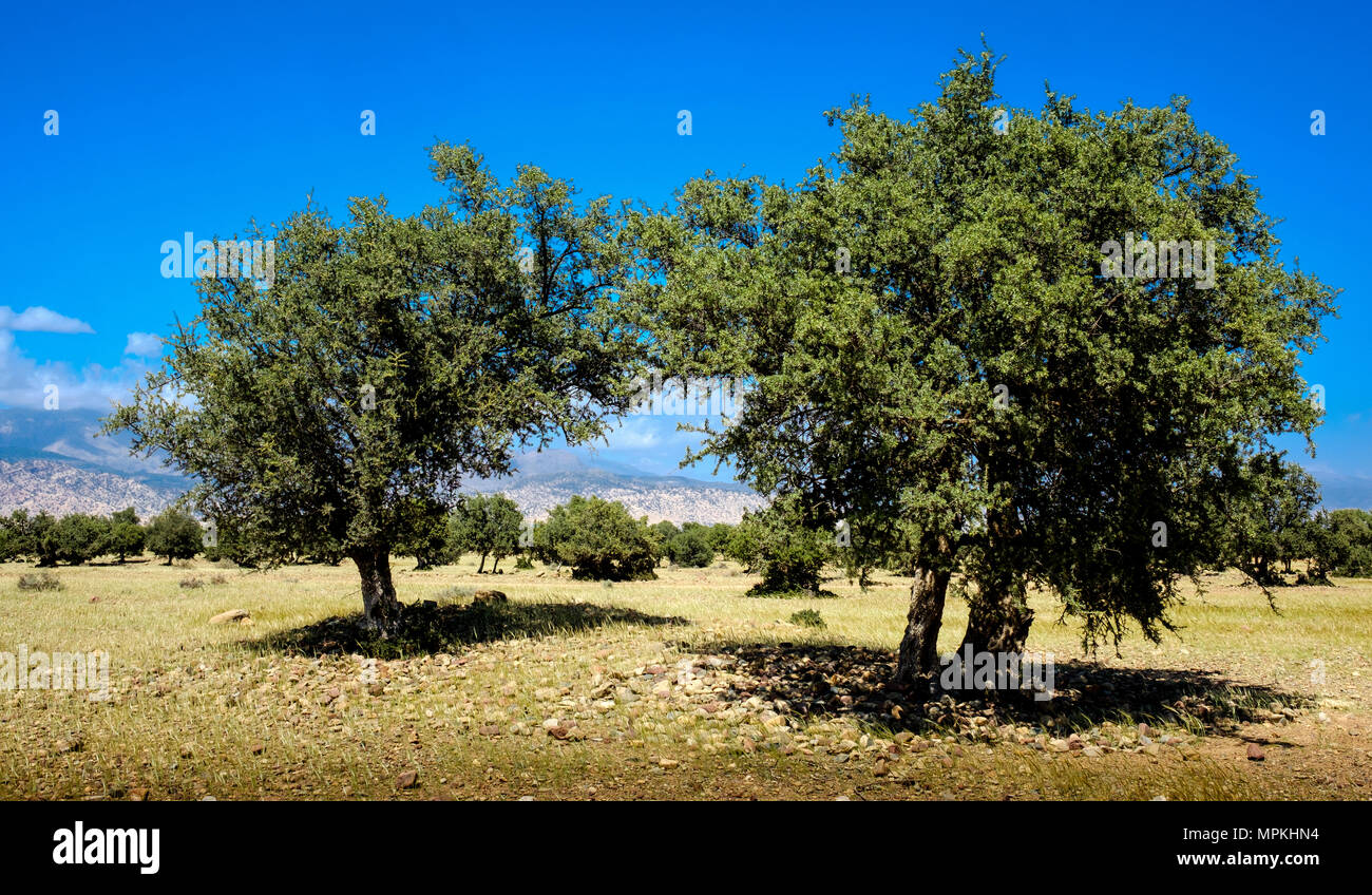 Argan trees with the Atlas Mountains in the background, Morocco, North Africa - Stock Image