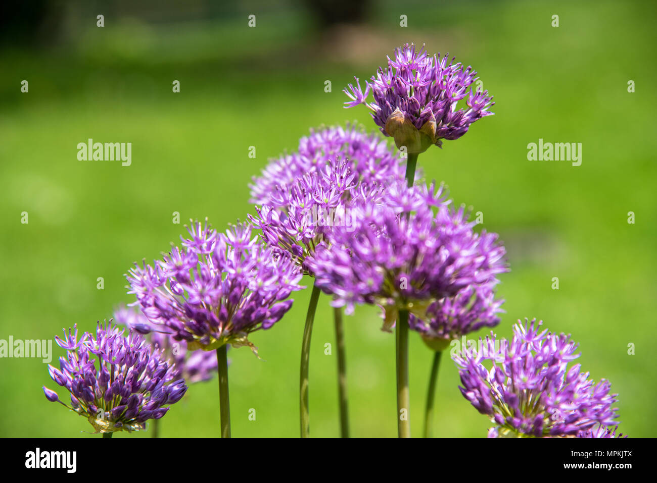 Allium 'Purple Sensation' - Stock Image