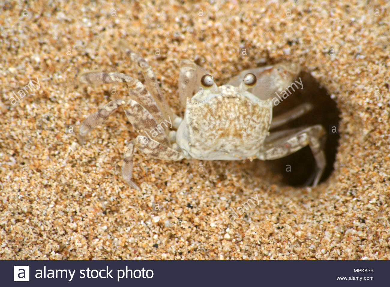 A Hawaiian crab (Lybia) also known as the boxer crab or pom-pom crab coming out of a hole in the sand on a beach. - Stock Image