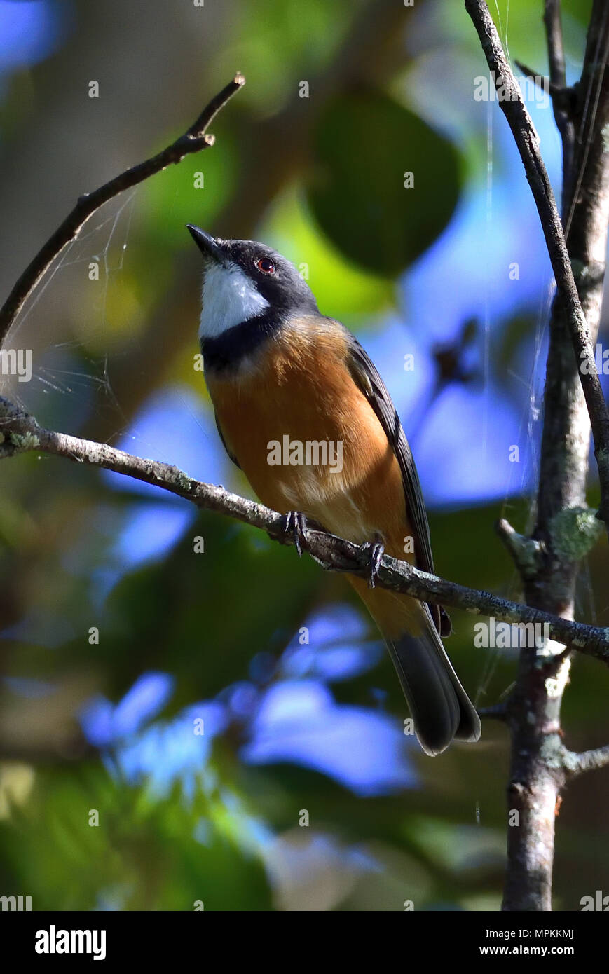 An Australian, Queensland Male Rufous Whistler, Pachycephala rufiventris resting on a Tree branch in thick bush - Stock Image