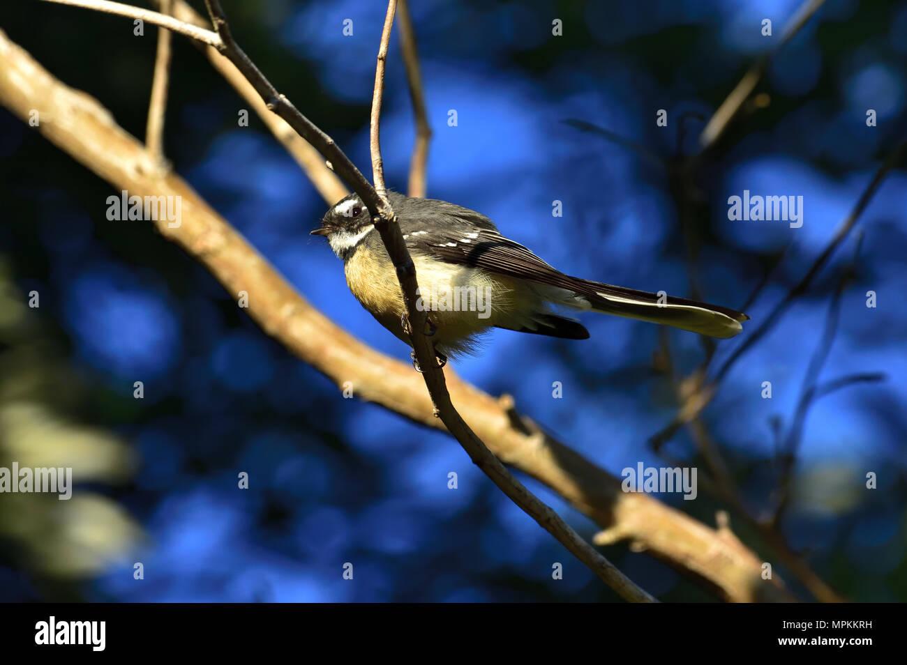 An Australian, Queensland Grey Fantail, Rhipidura fuliginosa resting on a Tree branch - Stock Image