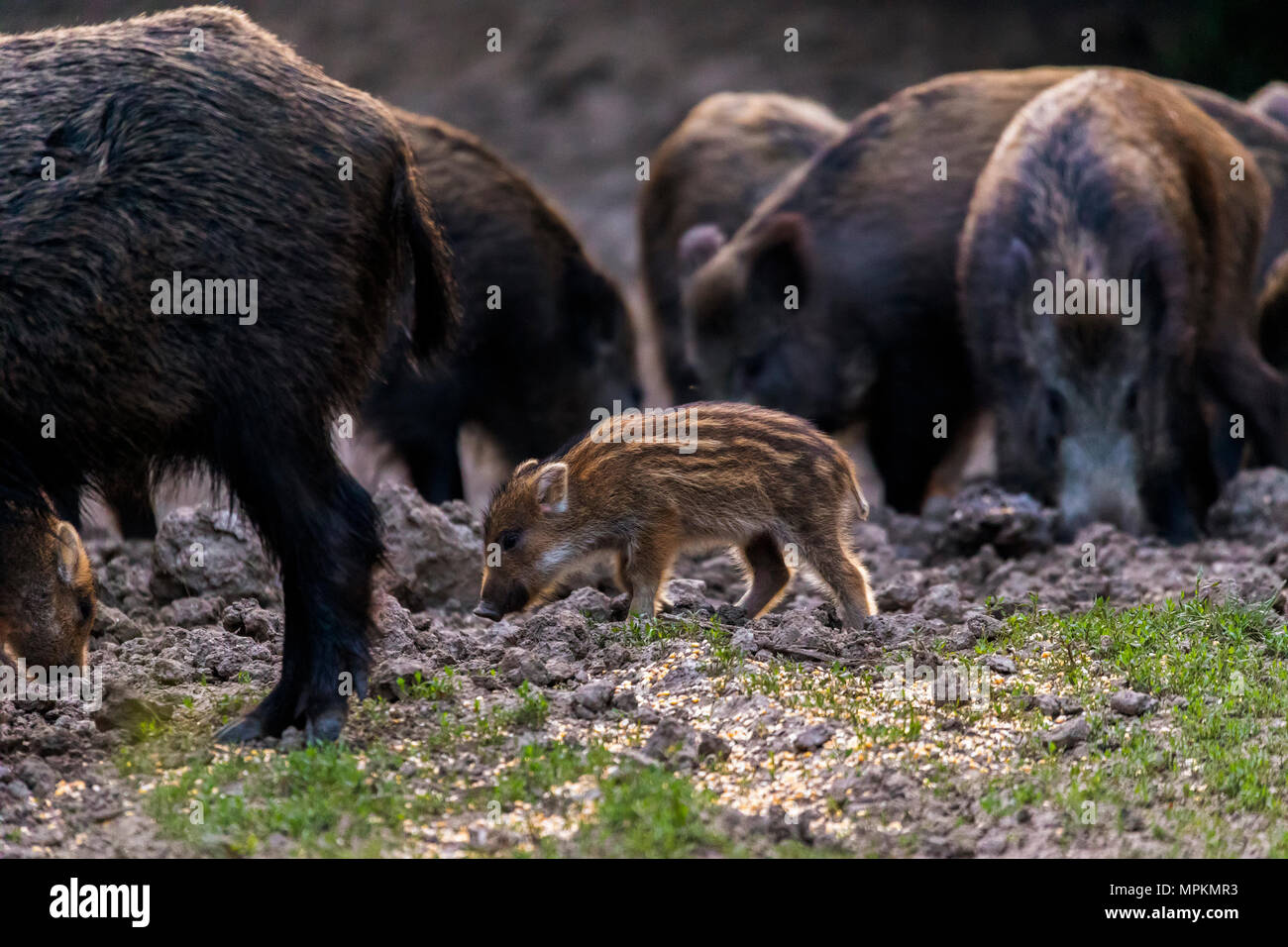 Feral pigs, sow and piglets rooting for food - Stock Image