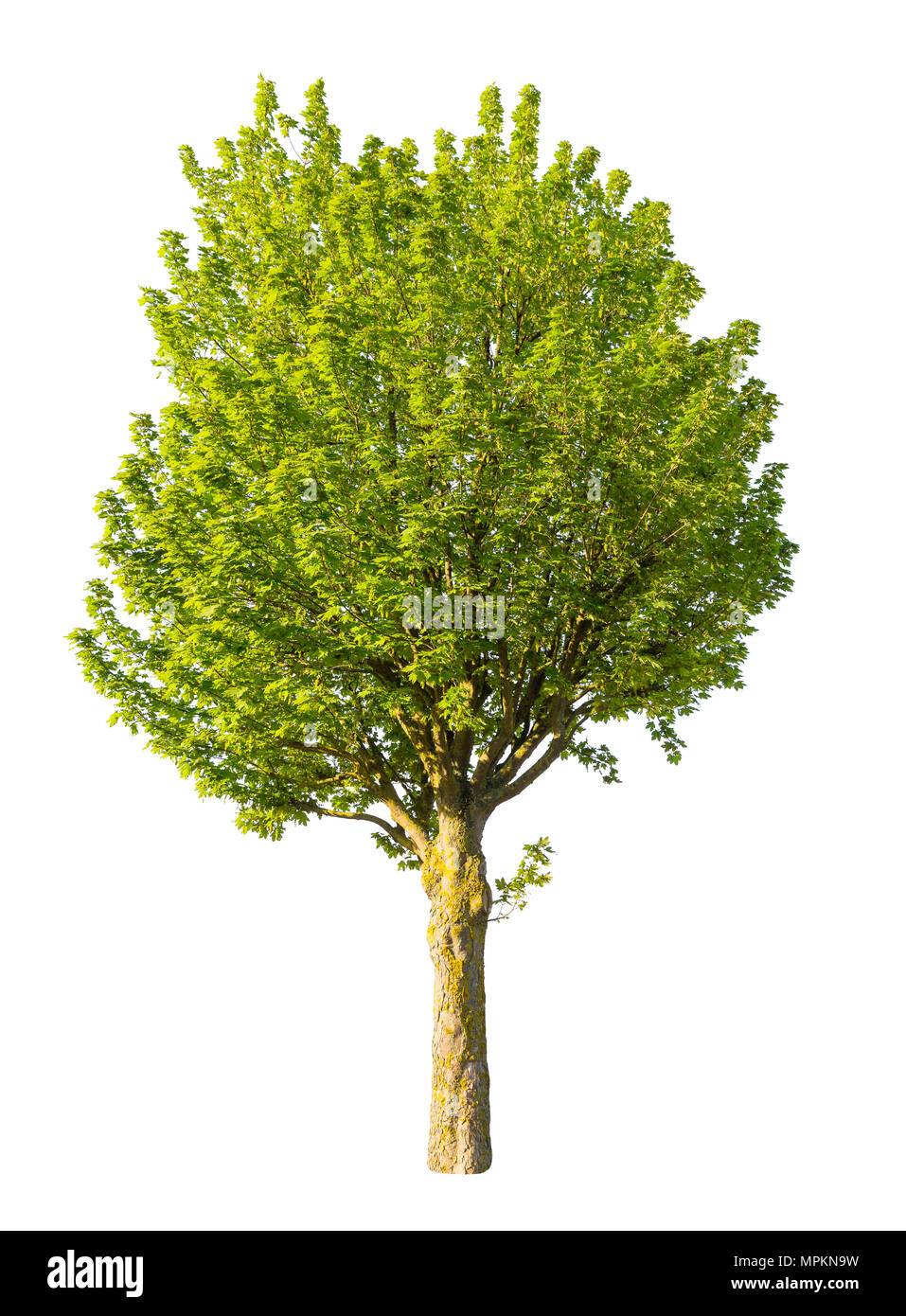 isolated tree on white background , graphic resource - Stock Image