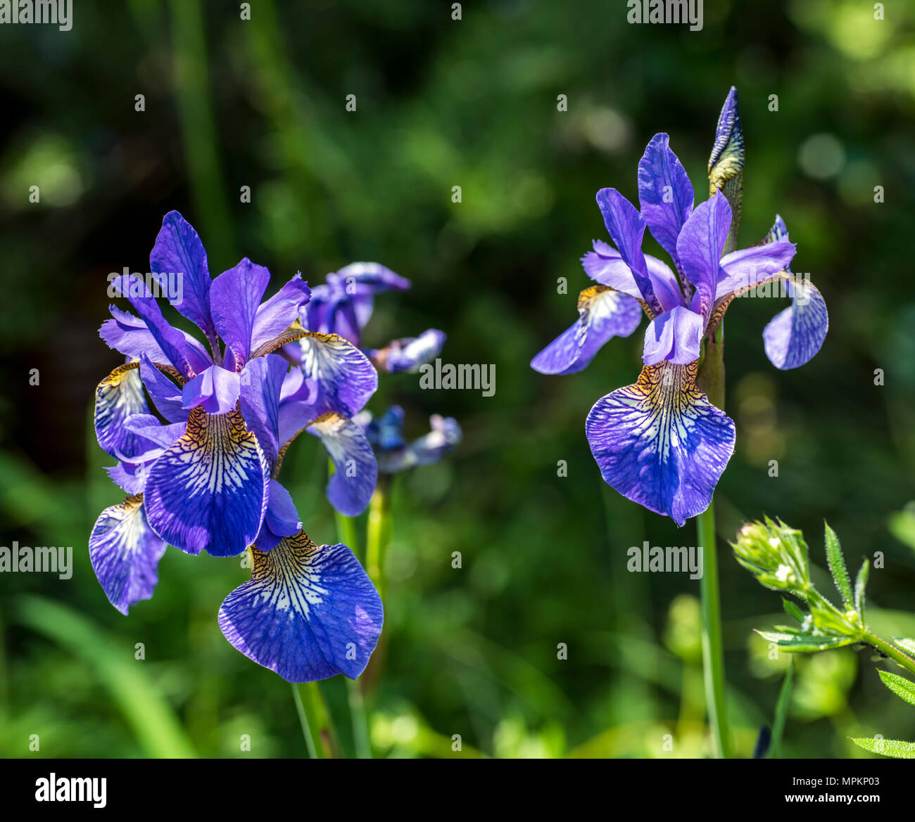 Flower Poster Close Up Of Blue And Purple Iris Flowers In Bright