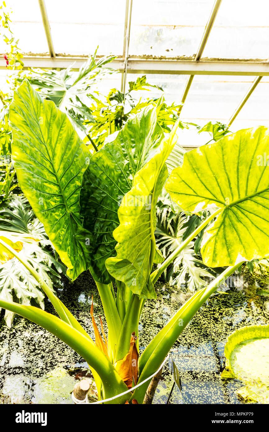 Giant Taro, Alocasia Macrorrhiza, Alocasia macrorrhizos, Giant Taro leaves, Giant Taro plant, arum family, Araceae, Giant Taro plants, mankachu - Stock Image