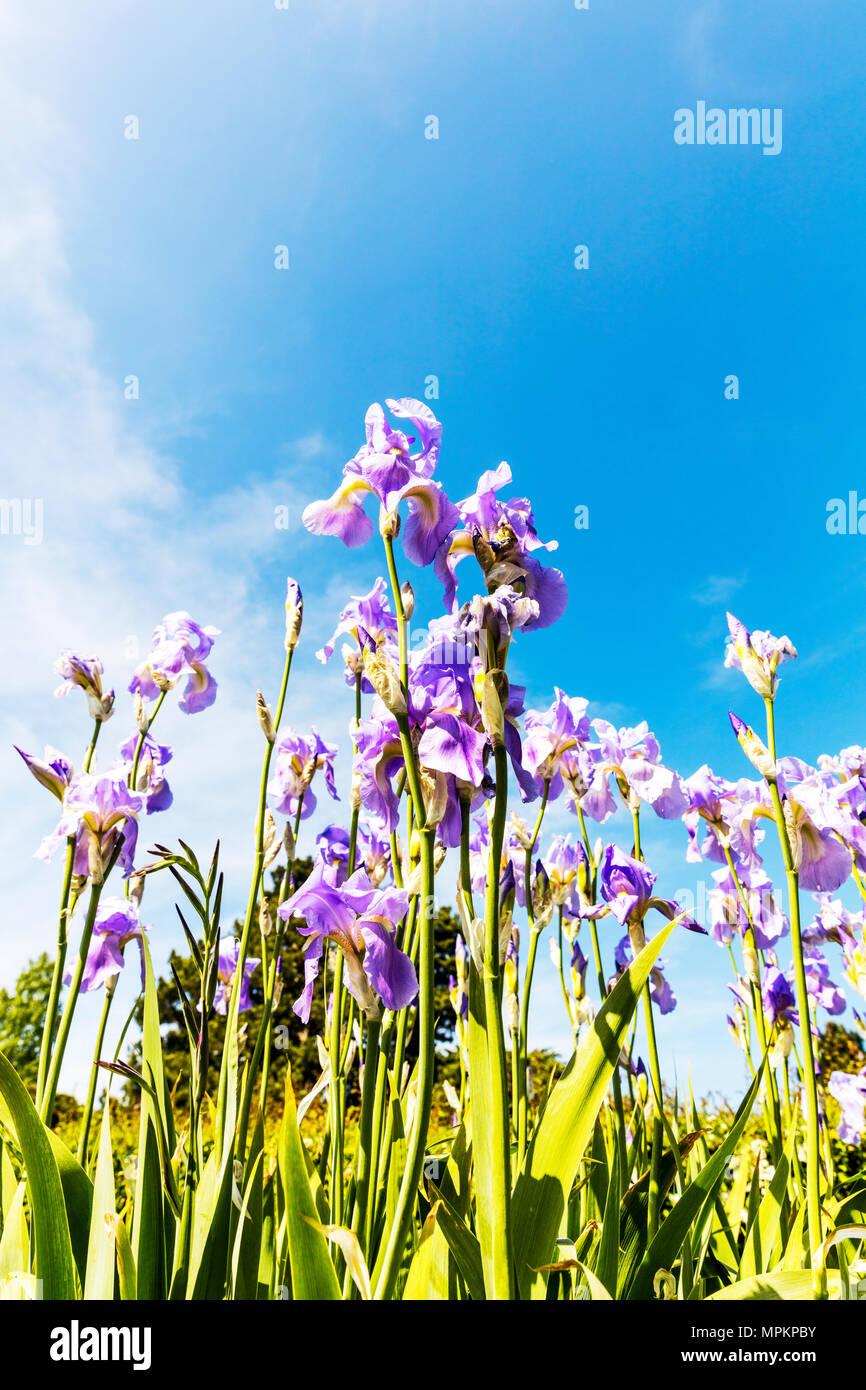 Iris, iris flowers, iridaceae, Asparagales, Iris plants, iris flower, irises, iris plant, iris perennial herbs, copy space, flowers, flower, Lilac - Stock Image