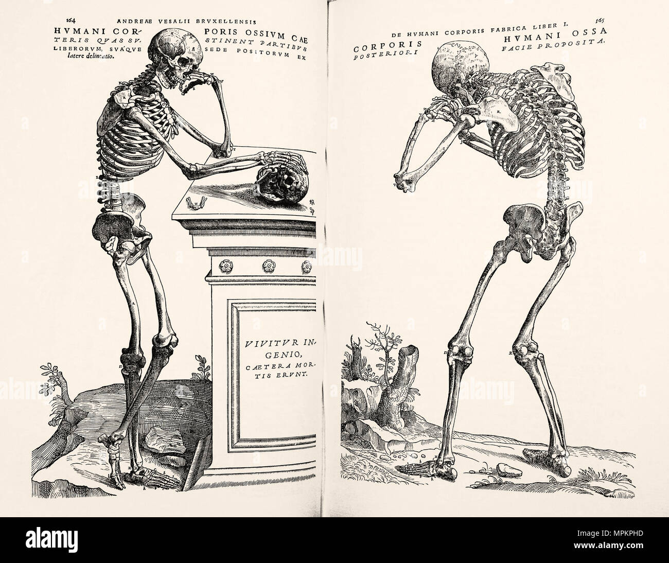 Woodcuts from'On the Fabric of the Human Body' by Andreas Vesalius. Brussels, 1970. Full-size facsimile of the 1543 edition. - Stock Image