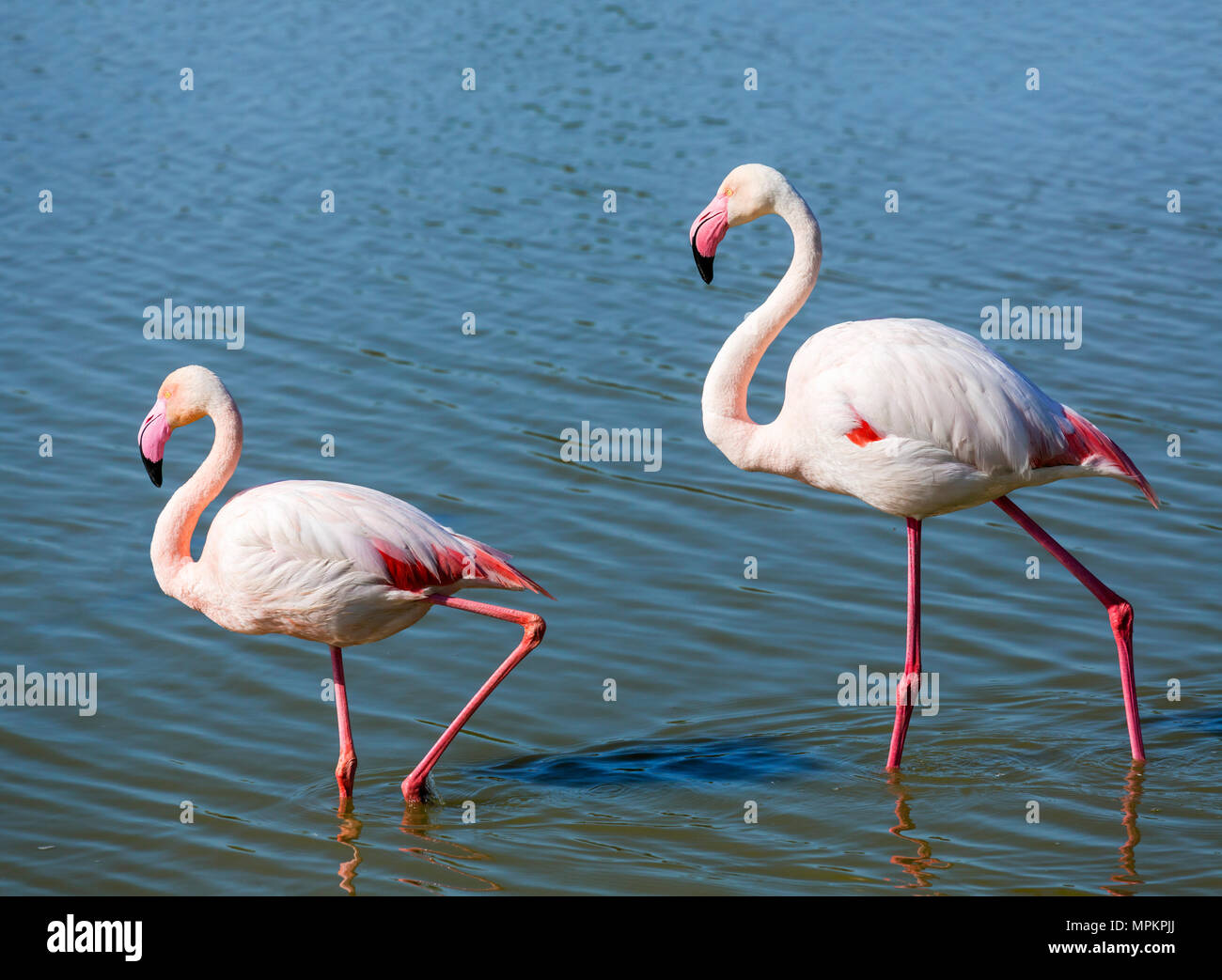 Greater Flamingo (Phoenicopterus roseus). Pair of Greater Flamingos in the Parc ornithologique du Pont de Gau, Camargue, Provence, France. - Stock Image