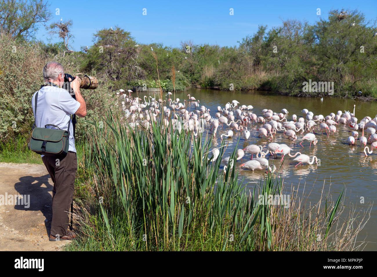 Camargue, France. Photographer taking pictures of Greater Flamingos (Phoenicopterus roseus) in the Parc ornithologique du Pont de Gau, Camargue, Prove - Stock Image