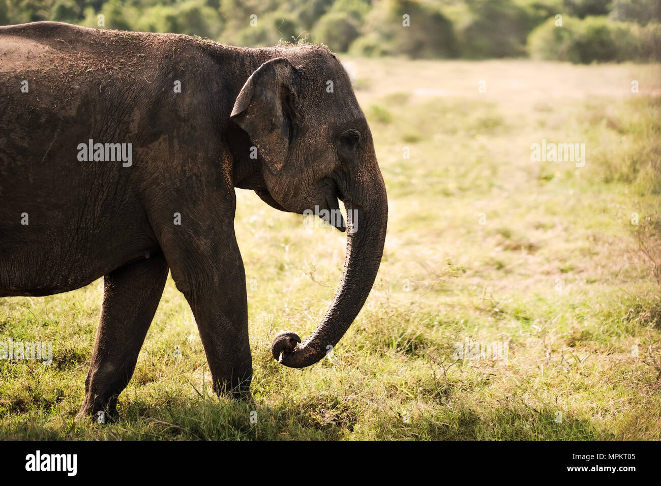 Small asian elephant standing and looking on camera in national park Stock Photo