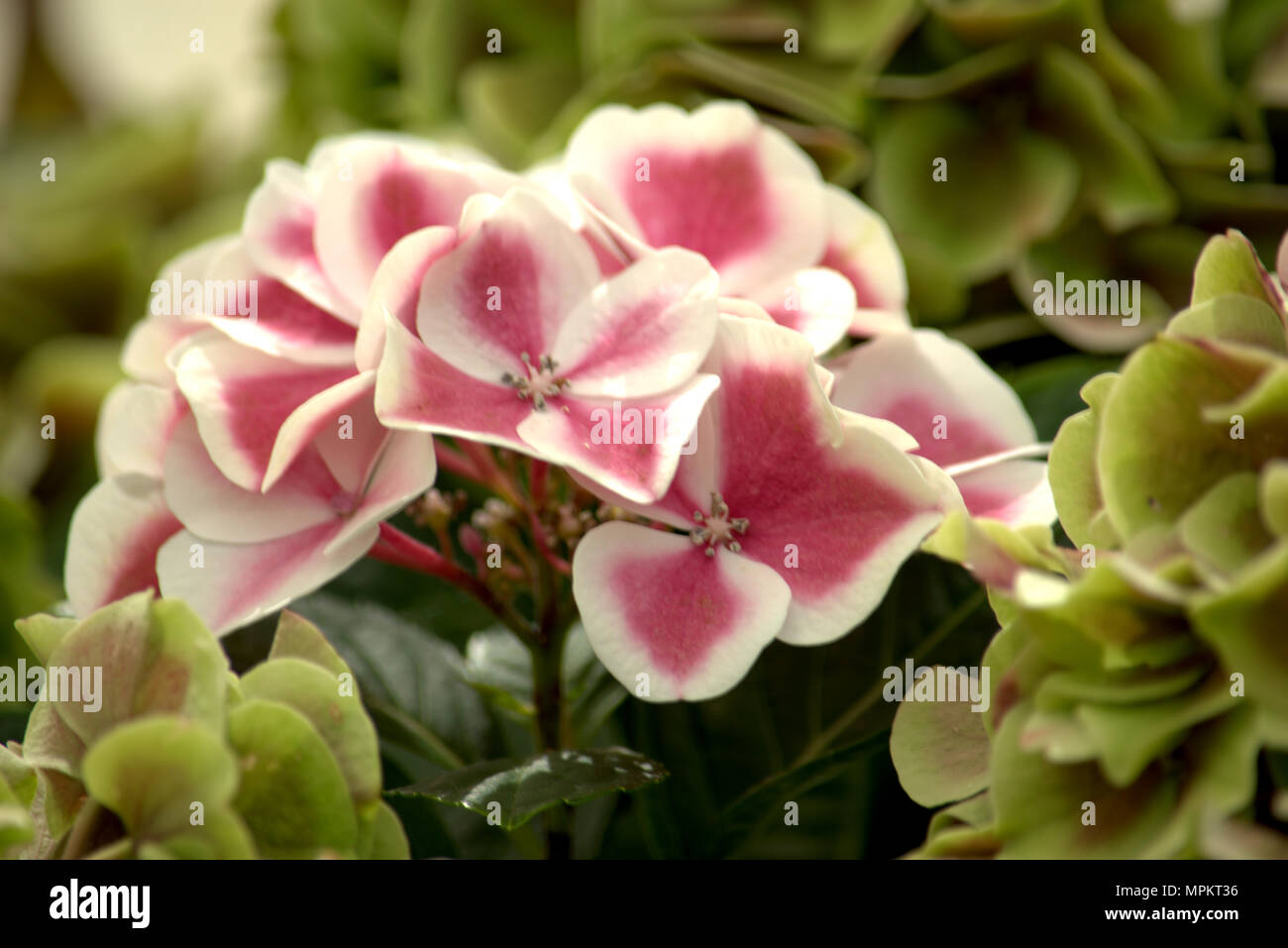 Candy Pink And White Striped Flowers Stock Photos Candy Pink And