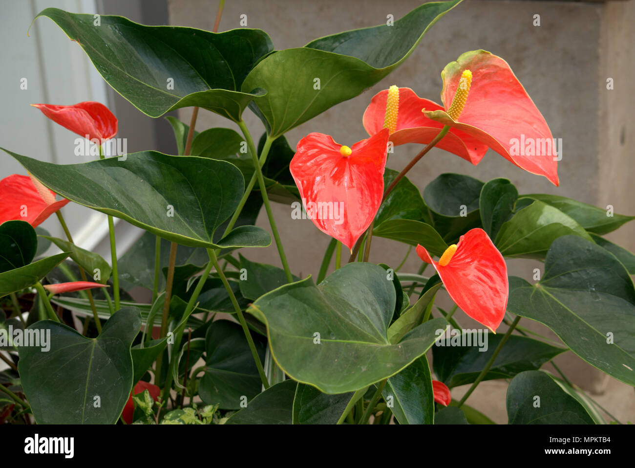 Red Peace Lily Stock Photos Red Peace Lily Stock Images Alamy