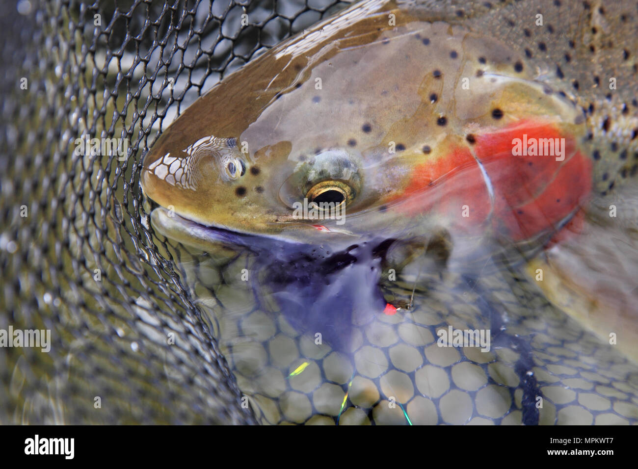 closeup steelhead trout with fly lure in mouth - Stock Image