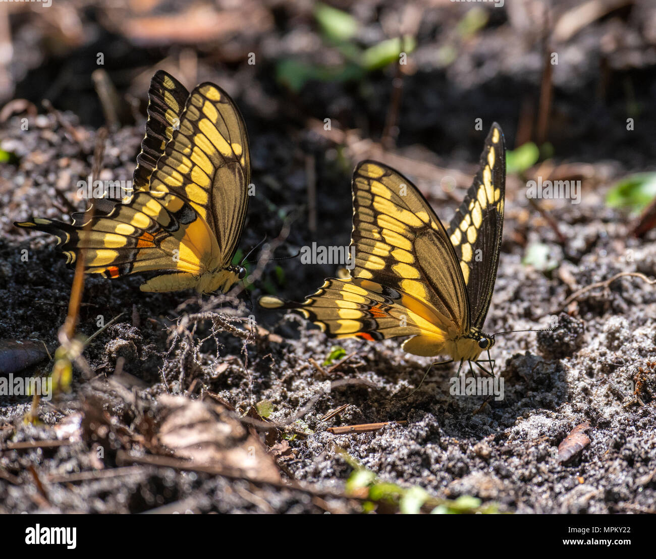A pair of Giant Swallowtail butterflies sipping moisture from soil - Stock Image
