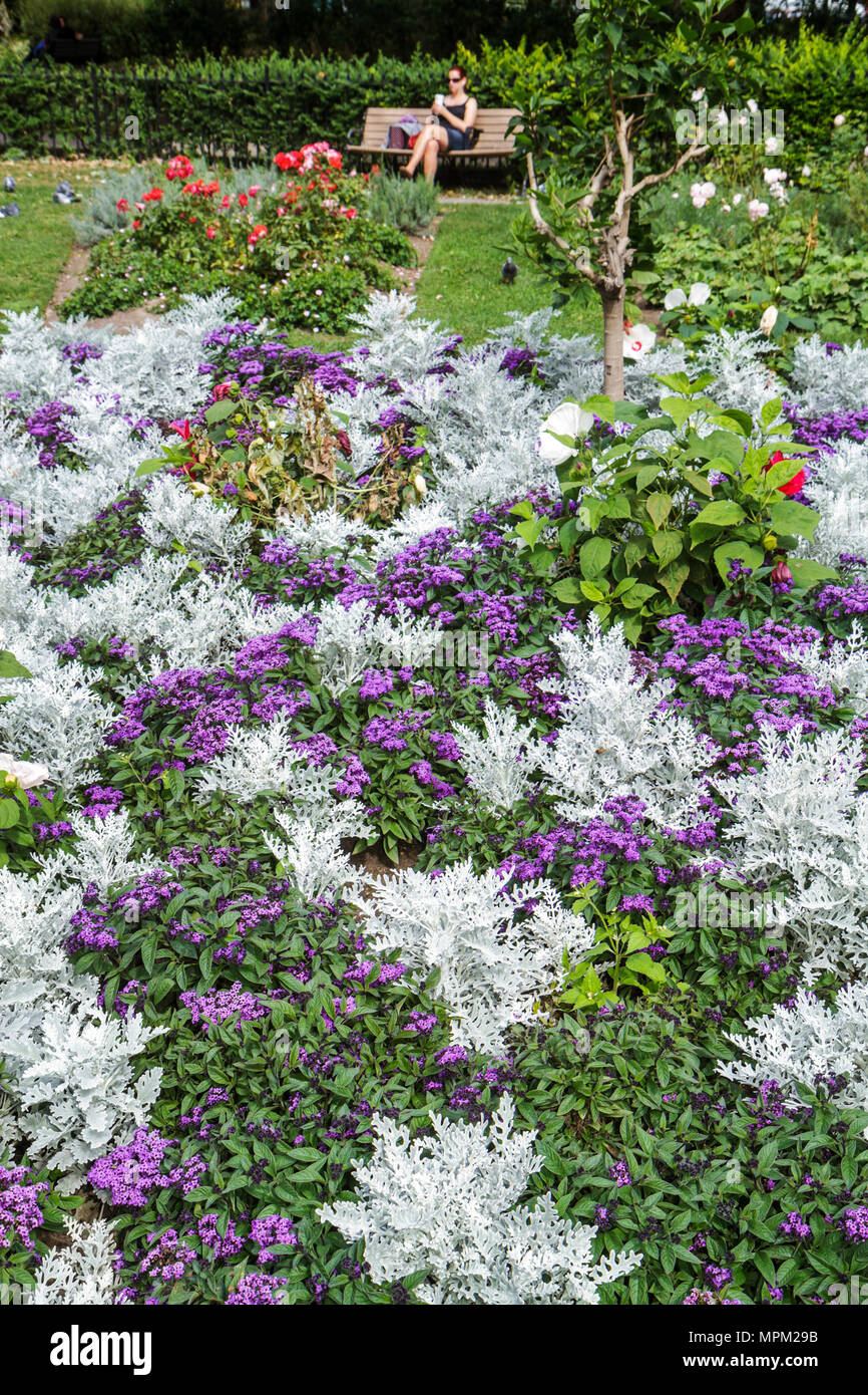 Dusty Miller Plant Stock Photos Dusty Miller Plant Stock Images