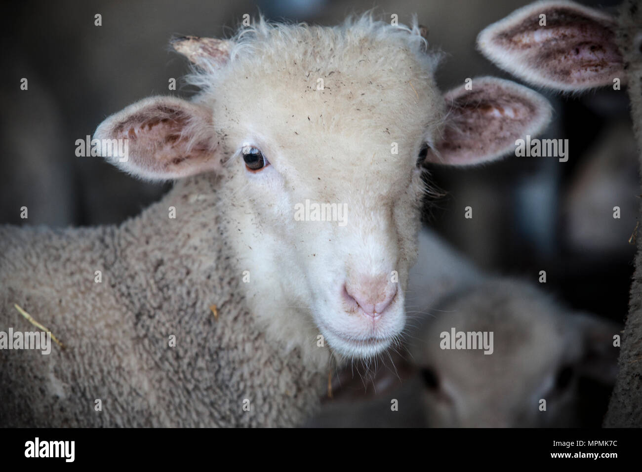Little ram of merina sheep pure breed at barn, Extremadura, Spain. Front portrait - Stock Image