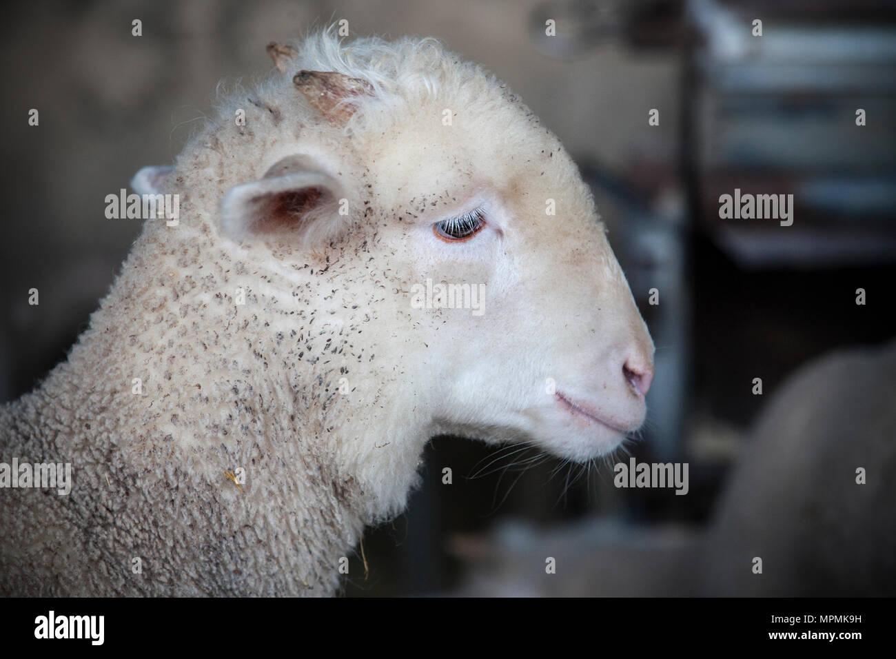 Little ram of merina sheep pure breed at barn, Extremadura, Spain. Profile portrait - Stock Image