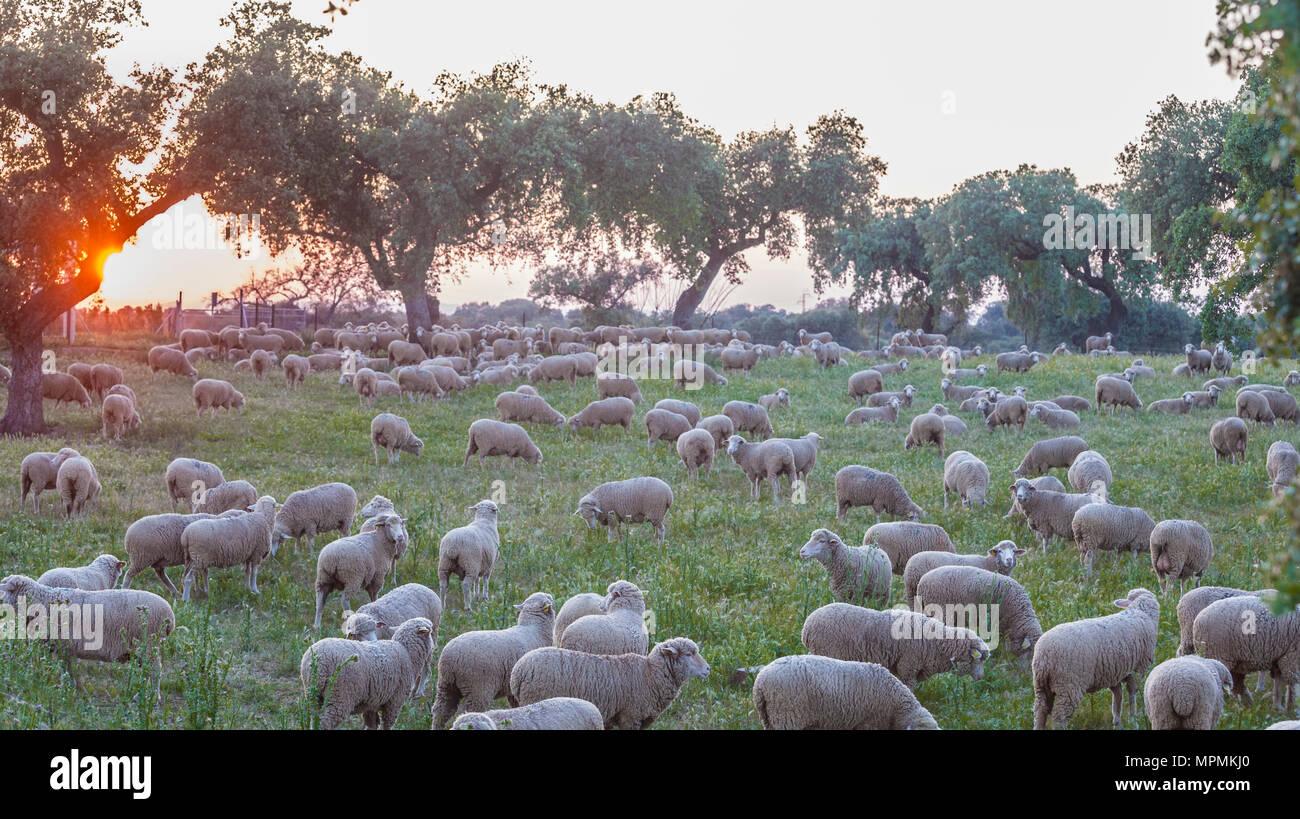 A flock of merina sheep grazing at sunset. Extremaduran dehesa, Spain - Stock Image