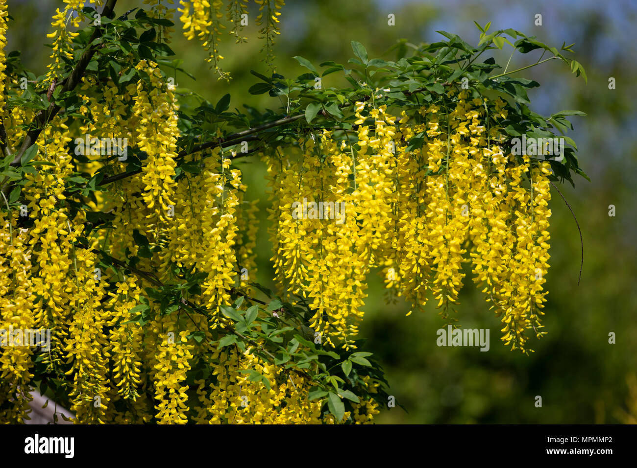 Pendulous flowers stock photos pendulous flowers stock images alamy clusters of laburnum flowers faboideae hanging from laburnum treest in mid may when at their most mightylinksfo