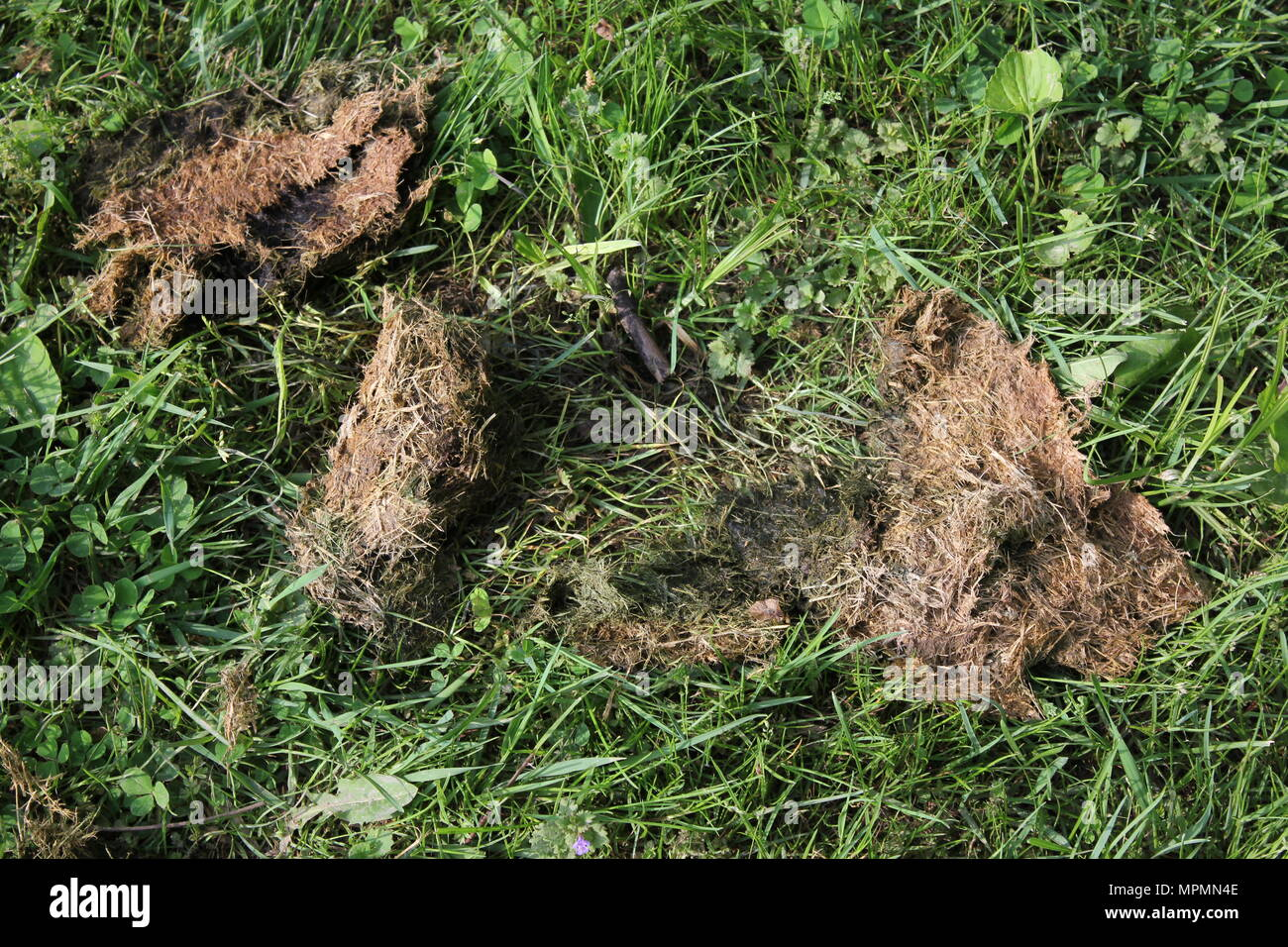 Brown and dried summer grass clippings inevitably collected in a small pile on the lawn. - Stock Image