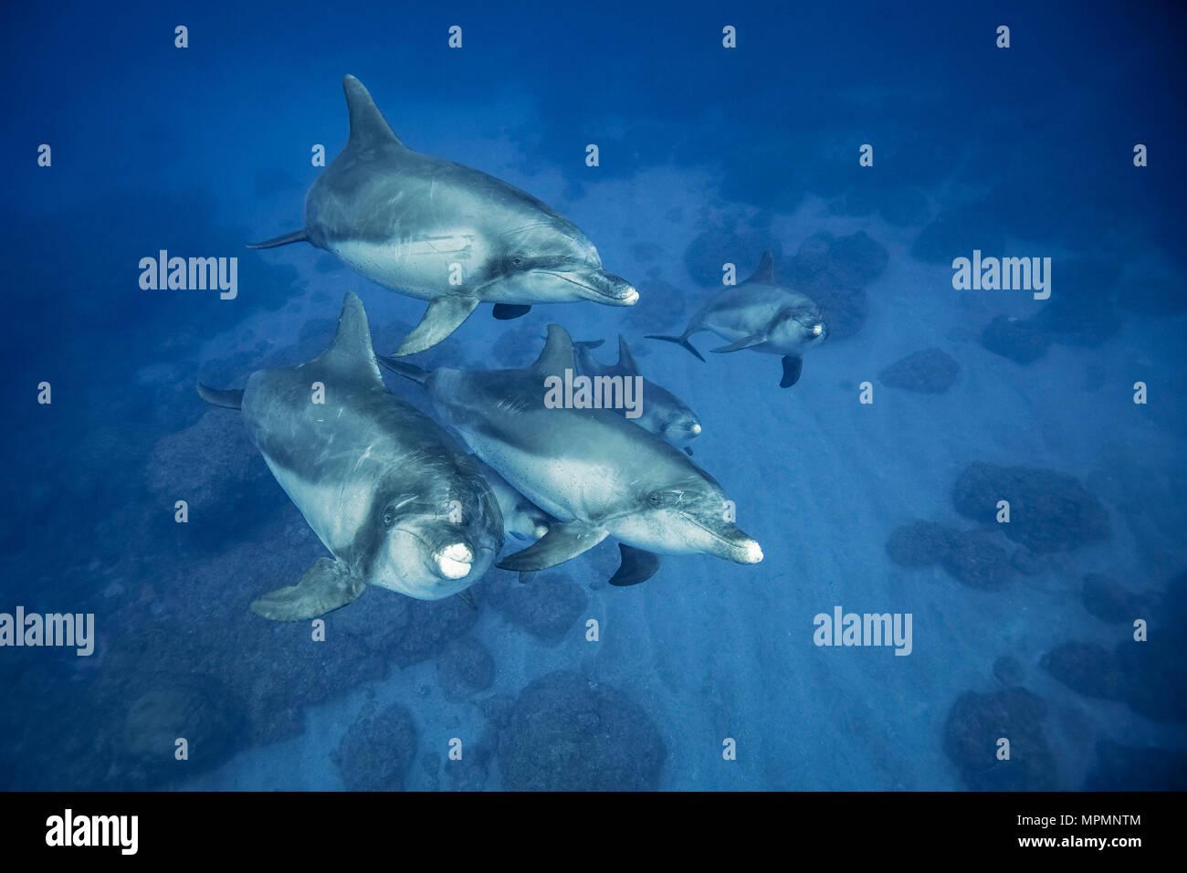 Indo-Pacific bottlenose dolphin, Tursiops aduncus, Chichi-jima, Bonin Islands, Ogasawara Islands, Japan, Pacific Ocean - Stock Image