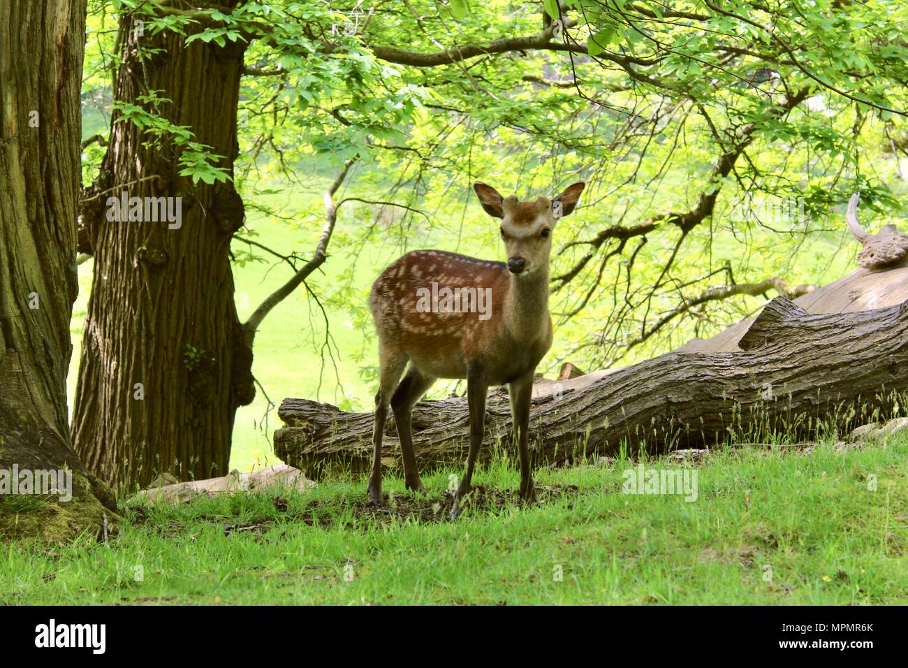A deer standing in the woods - Stock Image