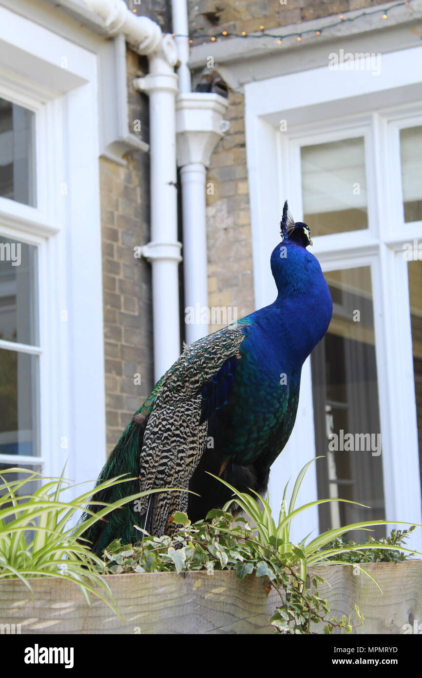 Peacock standing by a window - Stock Image
